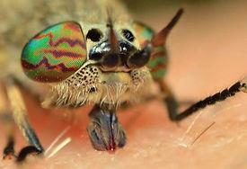 horsefly 8.jpg