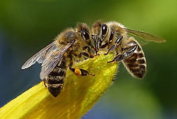 bee wasp honey 4.jpg