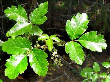 oak 3 poison oak.jpg