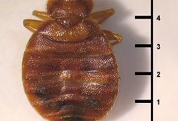 bedbug 2.jpg
