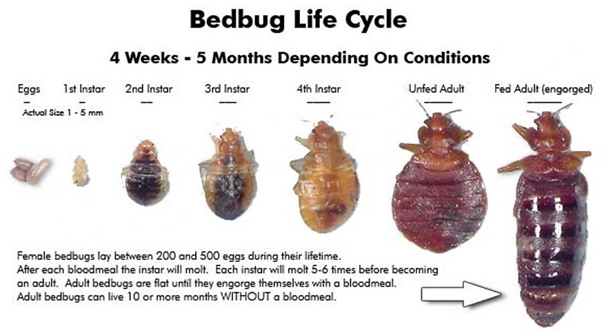 bedbug 13.jpg.png