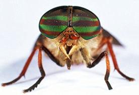 horsefly 9.jpg