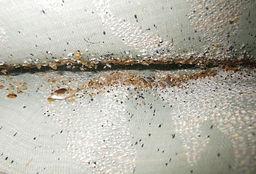 bedbug 9.jpg