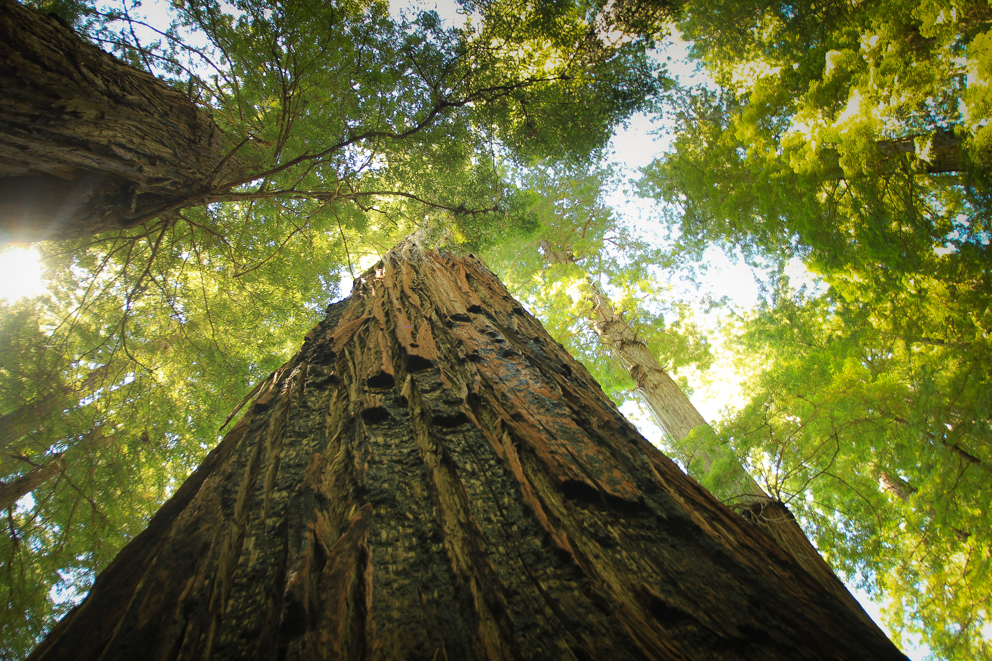 Giant of Redwood forest