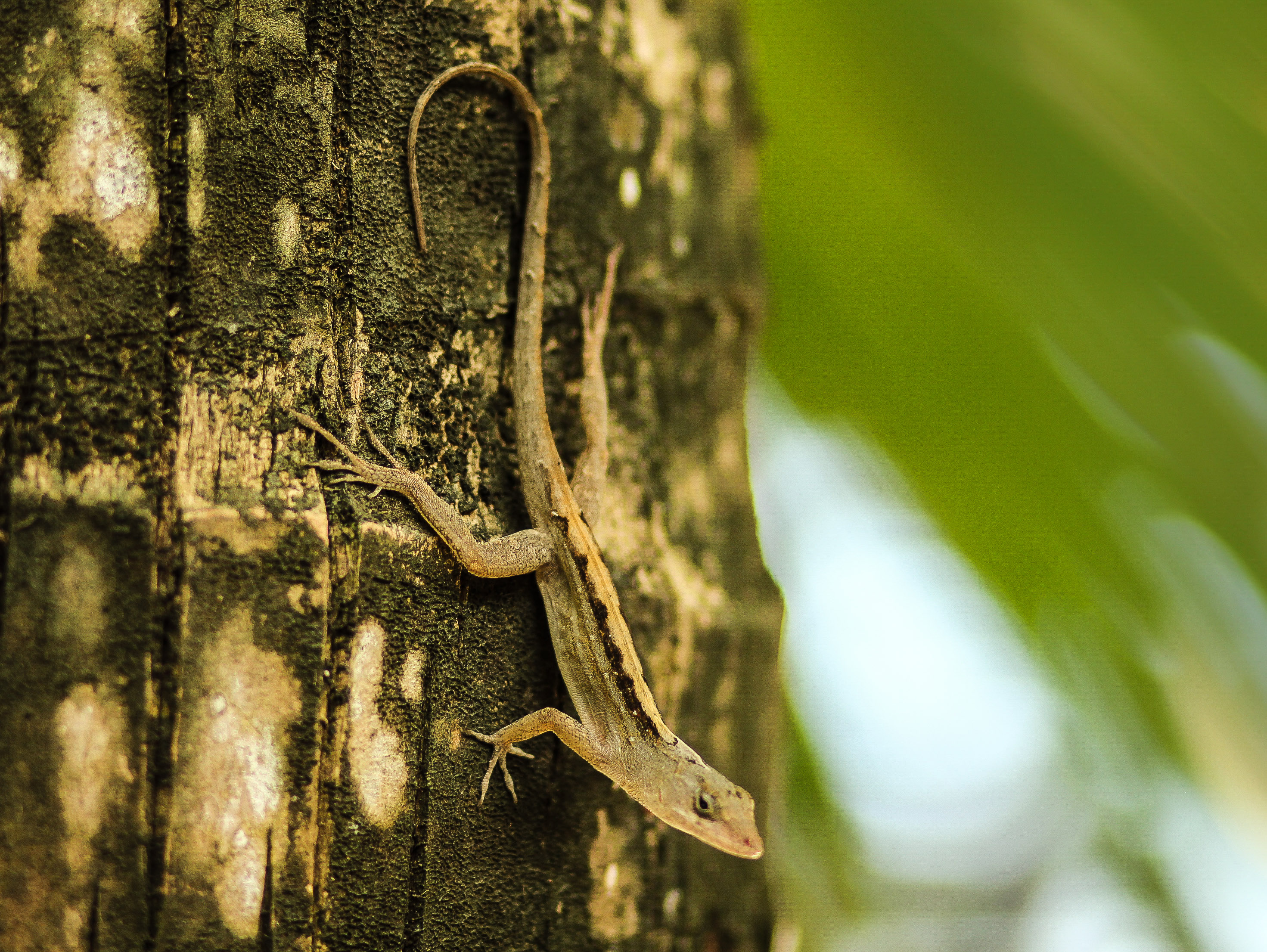 Lizard in Yucatan jungle