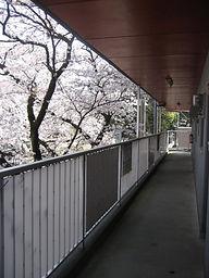 通路からの満開の桜