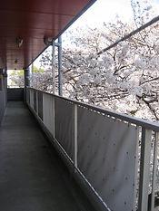玄関前通路からの満開の桜ビュー