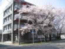 ハイツビッグベン前の満開の桜満喫