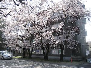 ハイツビッグベン前の満開の桜