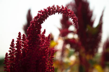 Land-Witness-Project-climate-change-stories-red-orach-ancient-grain