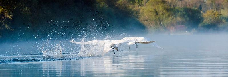 swans, norfolk wildlife, ranworth, norfolk, marshland, Mark Cator