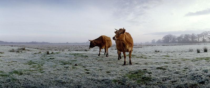cows, jersey cows, norfolk, marshland, Mark Cator