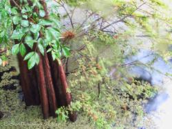 Haw Creek Cypress
