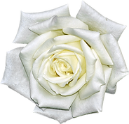 White Rose.png