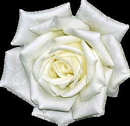 White Rose.png