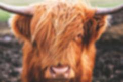 Scottish Coo