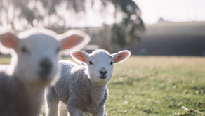 Virtually Visit Our New Baby Lambs