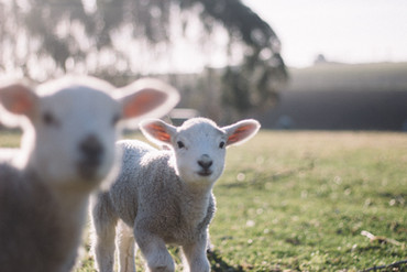 Baby lambs, free and happy, let them live!