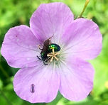 Geranium maculatum Mason Bee.jpg