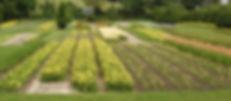 Daylily field production