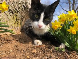kitty in daffodils
