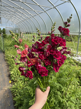 Maroon madame butterfly snapdragons
