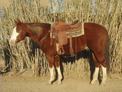 SOLD 2008 Cute & Flashy Bright Sorrel AQHA/APHA Gelding, 15 Hands, 1150 lbs.