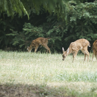 3 YOUNG DEER IN THE PASTURE
