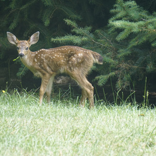 YOUNG PASTURE DEER IN THE SUMMER