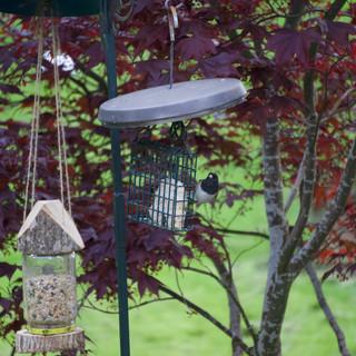 PHOEBE BIRD FEEDING