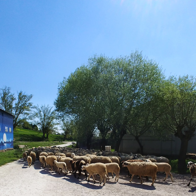 De akkerbouwers van het dorp betalen de schaapherder een vergoeding voor het afgrazen van de akkers na de oogst. Tot die tijd worden de bermen kortgehouden.