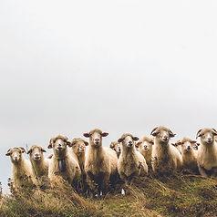 sheeps_web.jpg