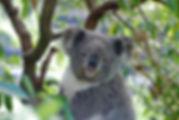 koala-2363007_1920.jpg