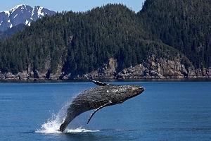 humpback-whale-1984341_1920.jpg