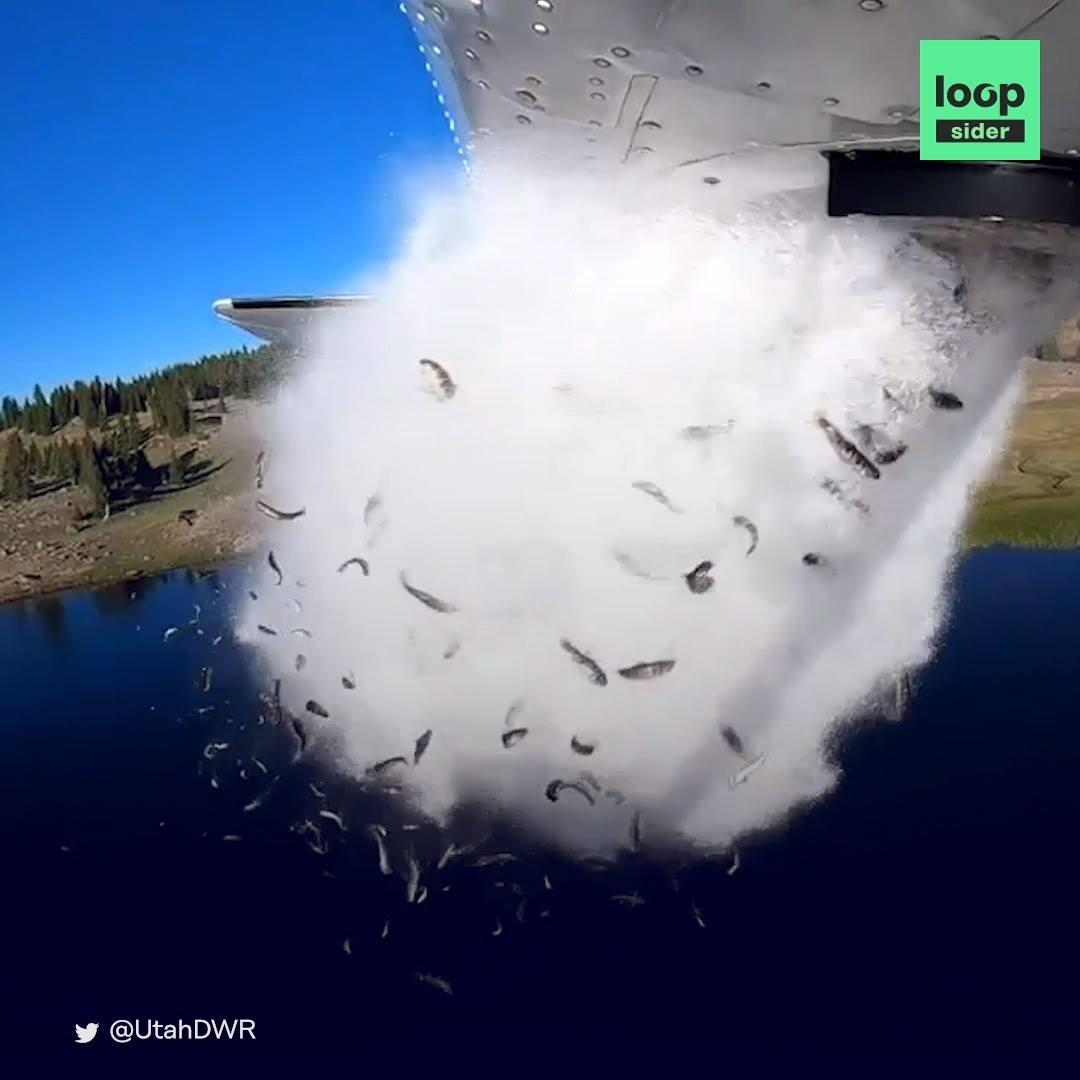 Le largage de poissons en avion dans l'Utah