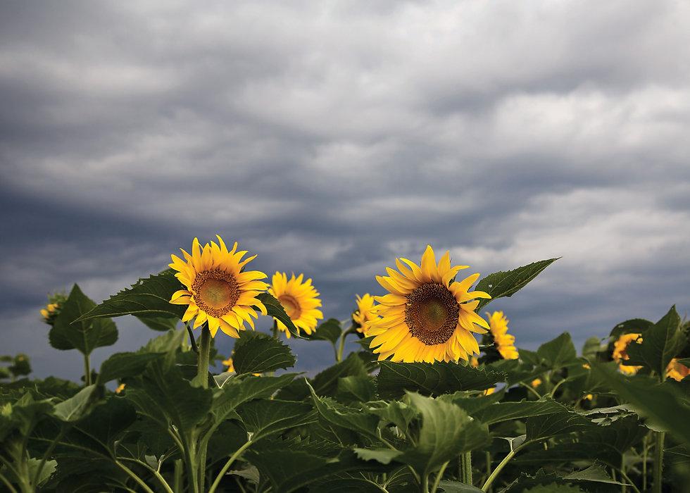 sunflowers_20793bc.jpg