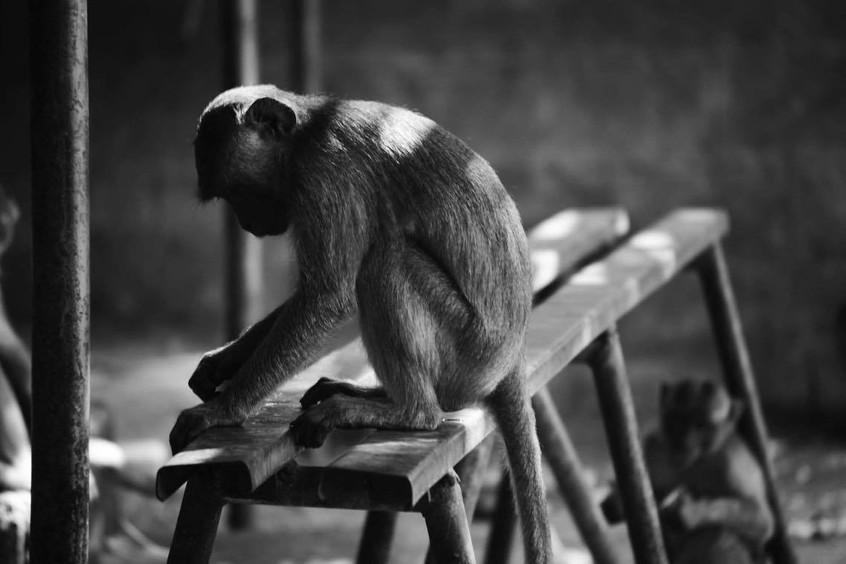 Monkey's filling Ubad, Bali Temple