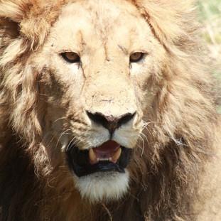 Mannetjes leeuw in Ngorongoro