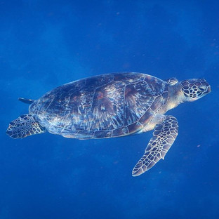 Green turtle swimming in the Indian Ocean. Always a magic moment to see this. Possible in