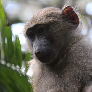 Many different types of monkeys in Lake Manyara park