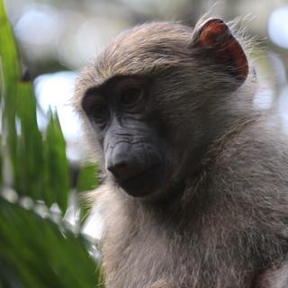 Je ziet veel apensoorten in Lake Manyara NP