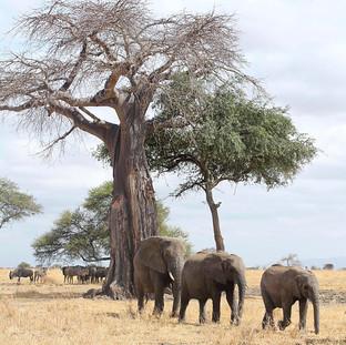 Elephants walking in Tarangire NP