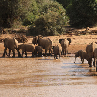 You often see many elephants in Samburu Park