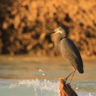veel reigers die vissen aan de kust tijdens zonsondergang