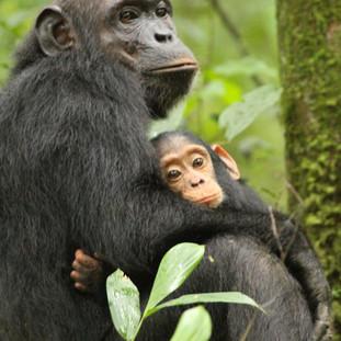 Chimpanzees by Ol Pejeta