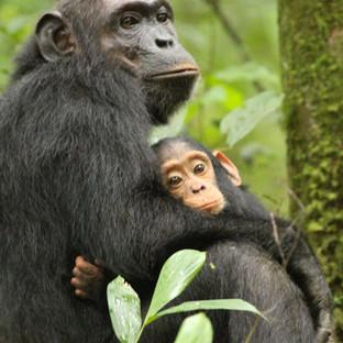 bezoek de chimpanzees bij Ol Pejeta