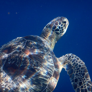 Green turtle during snorkelling trip