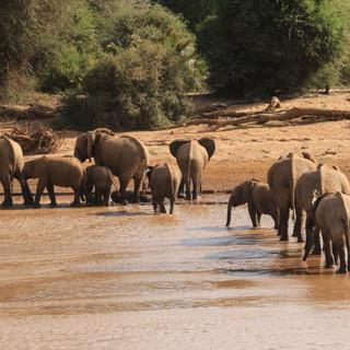 Olifangen die de rivier in Samburu NR oversteken