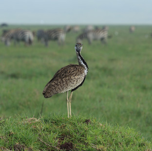 bustard on the planes of Ngorongoro Crater