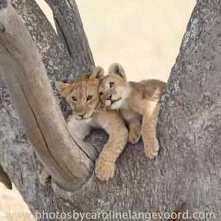 leeuwen jongen in een boom in Serengeti